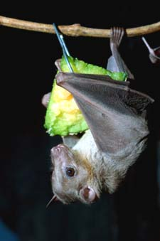 Picture of Bat