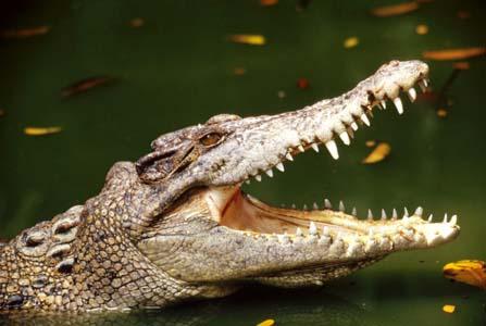 external image crocodile%20jawswp.jpg