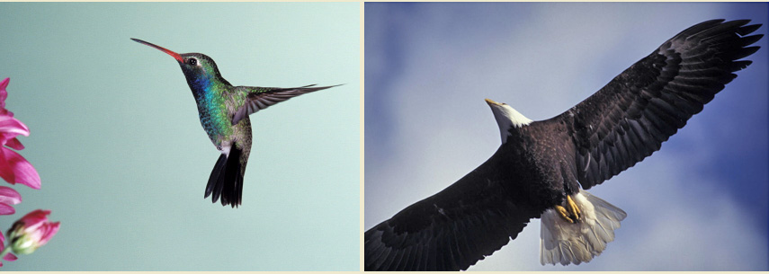 Picture of Hummingbird and Eagle